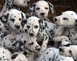 legislation sur la vente de chiots